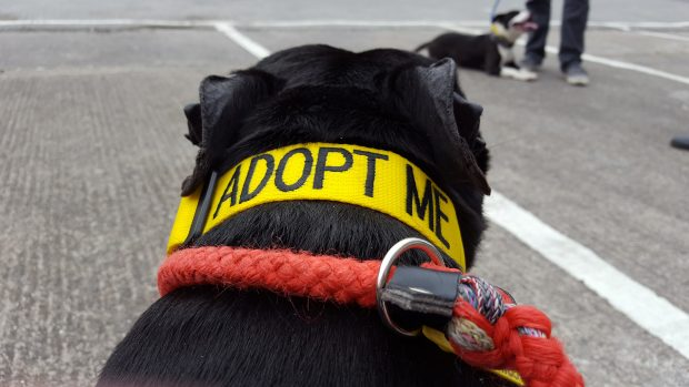 Cooper the dog with an 'adopt me' collar