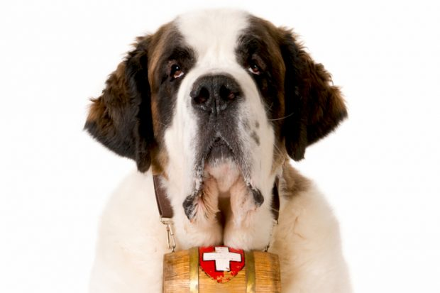A St Bernard rescue dog against a white background.