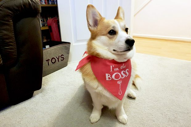 A corgi wearing an I'm the boss bandana.