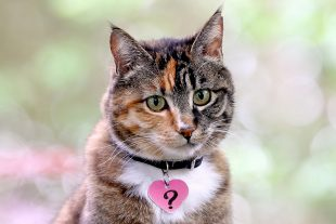 A tabby cat wearing a pink heart name tag with a question mark.